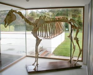 arkle skeleton in ireland