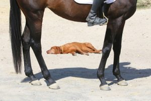 dog asleep between horses legs