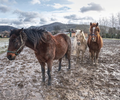 horses stood in mud