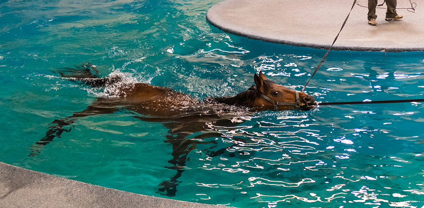 horse rehabilitation in pool