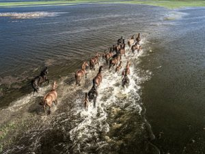 horses running across flooded marsh